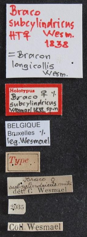 Braco subcylindricus ht Lb.JPG