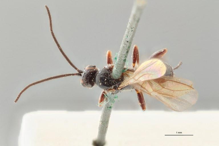 Braco superciliosus ht D ZS PMax.jpg
