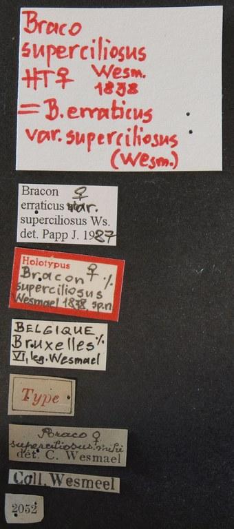 Braco superciliosus ht Lb.JPG