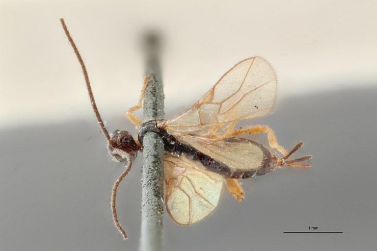 Braco tenuicornis ht D ZS PMax.jpg