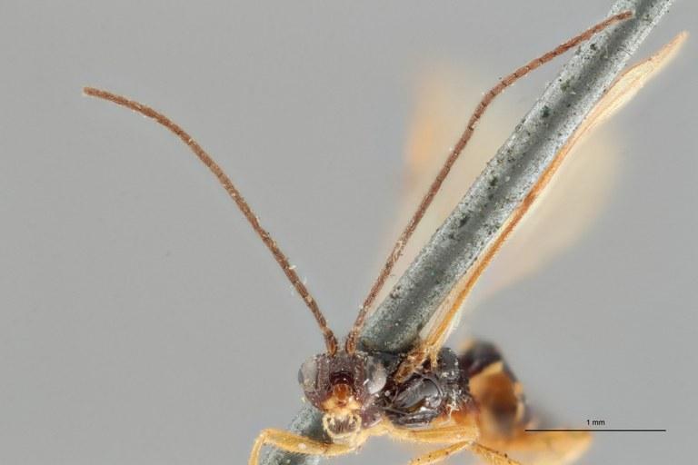 Braco tenuicornis ht F ZS PMax.jpg