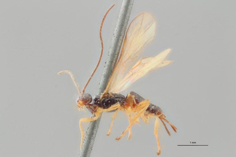 Braco tenuicornis ht L ZS PMax.jpg