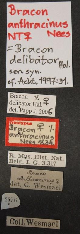 Bracon Glabrobracon anthracinus neo Lb.JPG