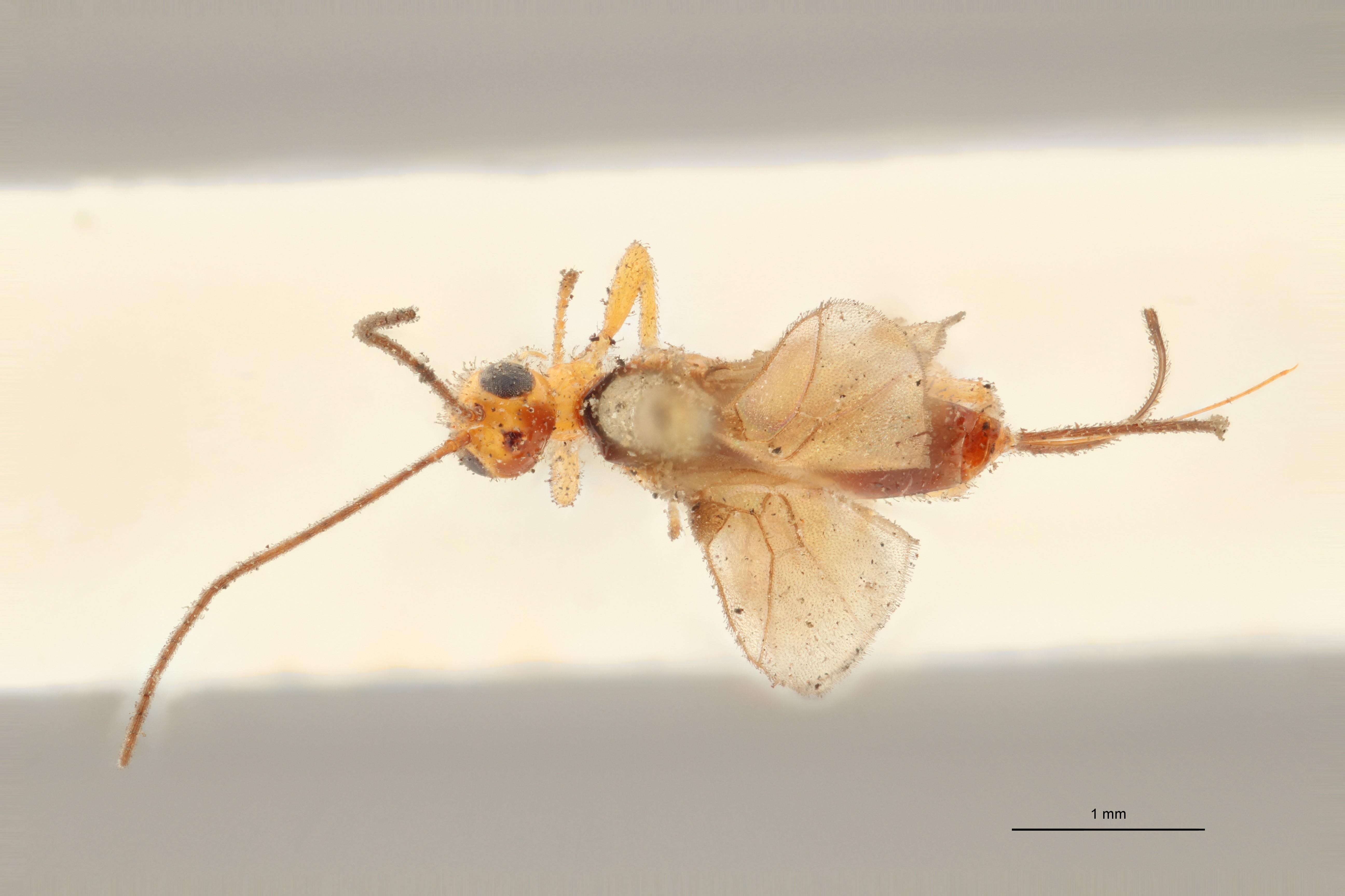 Coeloides melanotus lct D ZS PMax.jpg