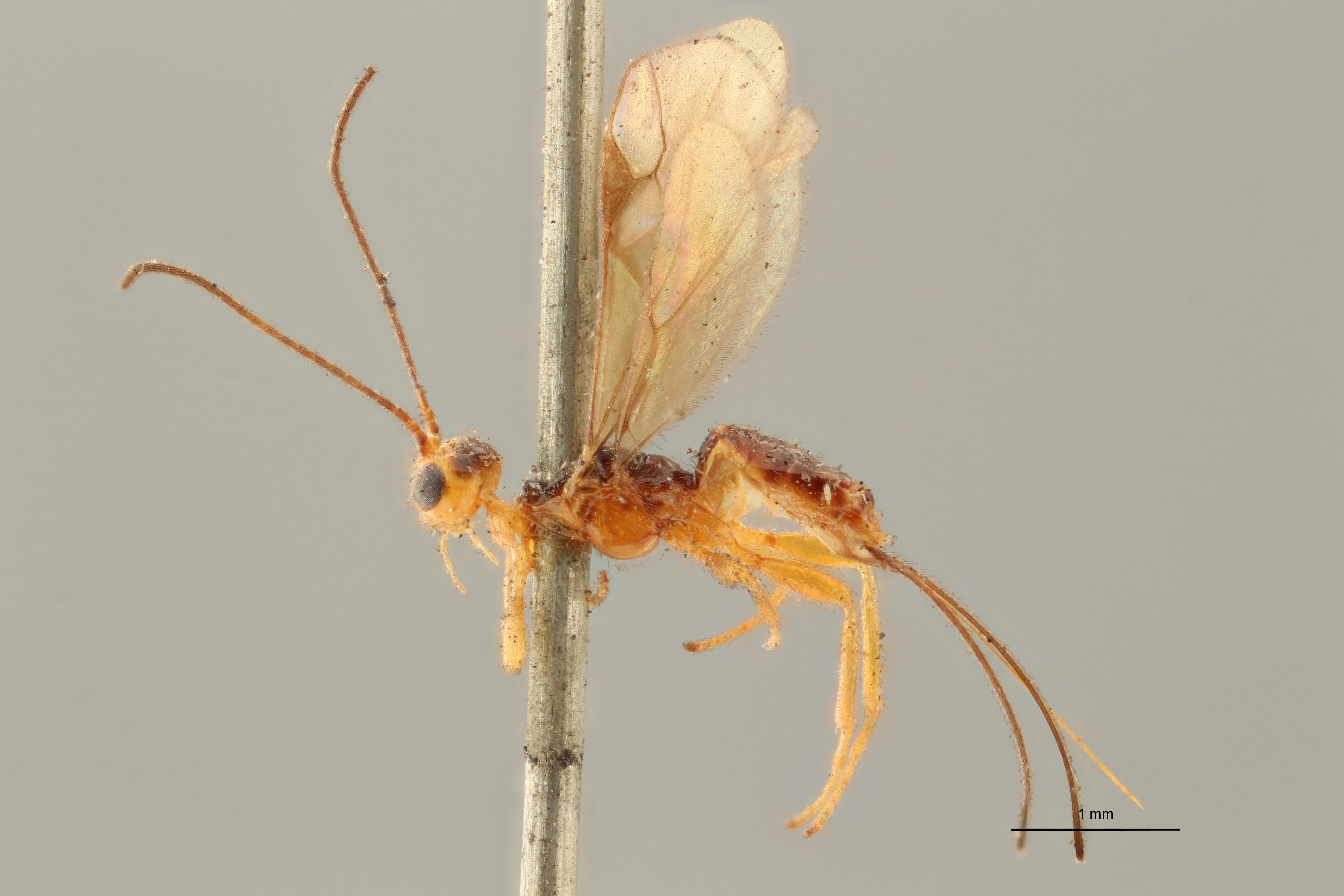 Coeloides melanotus lct L ZS PMax.jpg