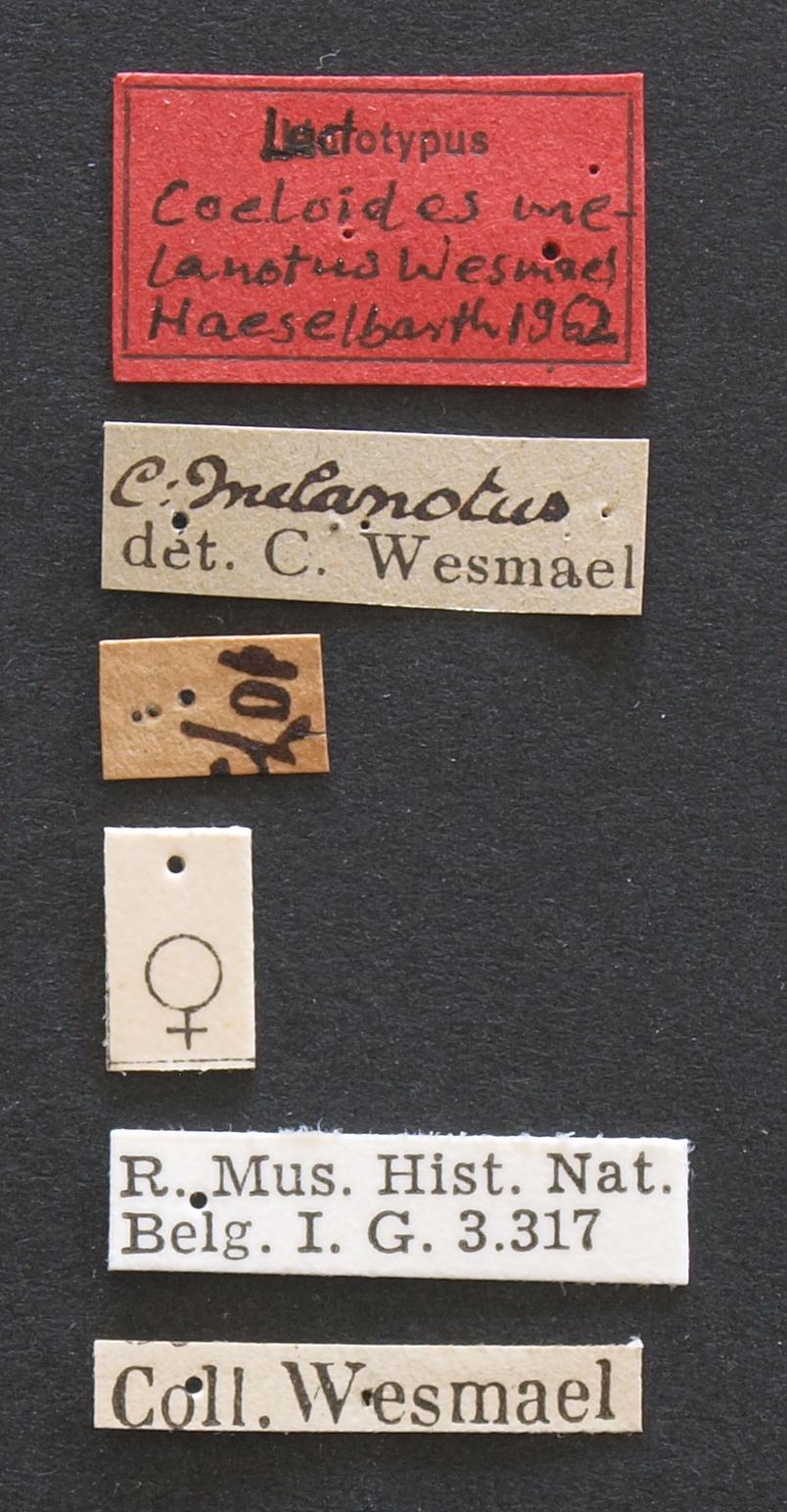 Coeloides melanotus lct Lb.JPG