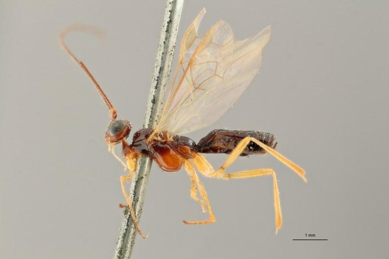 Eubadizon pectoralis typ L ZS PMax Scaled.jpg