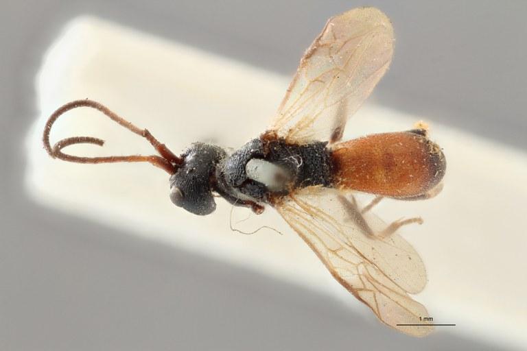 Ascogaster armatus plt D ZS PMax.jpg