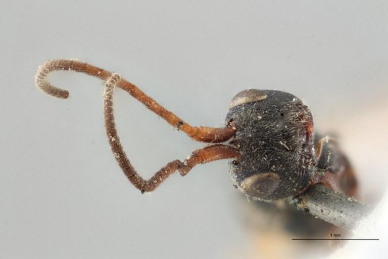 Ascogaster armatus plt F ZS PMax.jpg