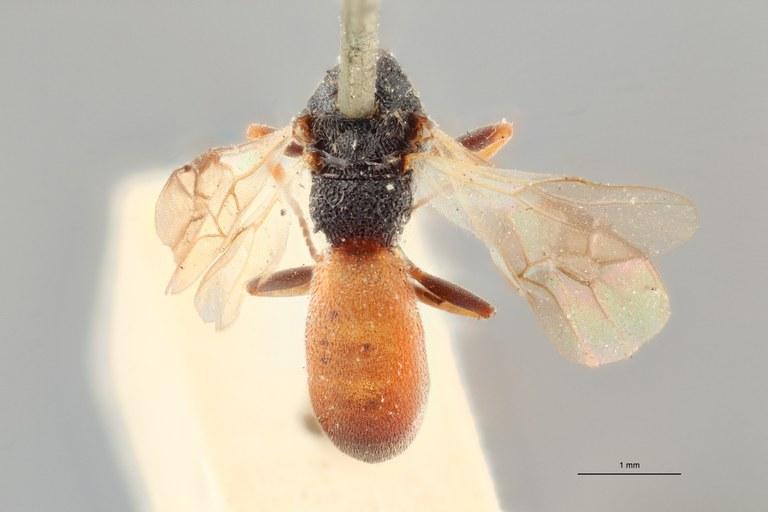 Ascogaster armatus lct D ZS PMax.jpg