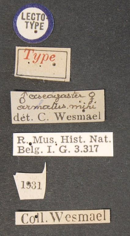 Ascogaster armatus lct Lb.JPG