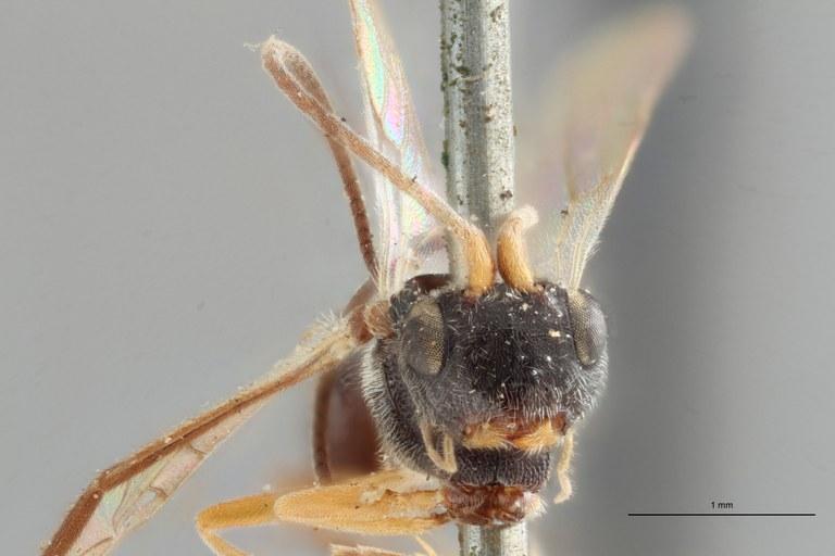 Ascogaster bidentulus typ F ZS PMax.jpg