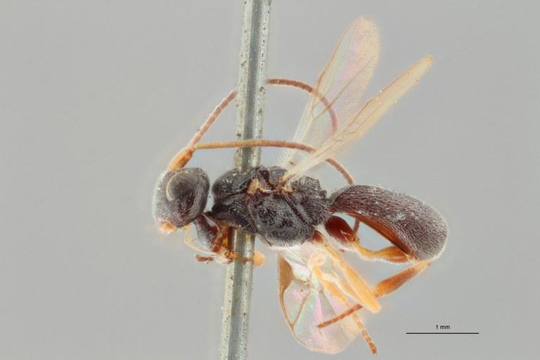 Ascogaster bidentulus typ L ZS PMax.jpg