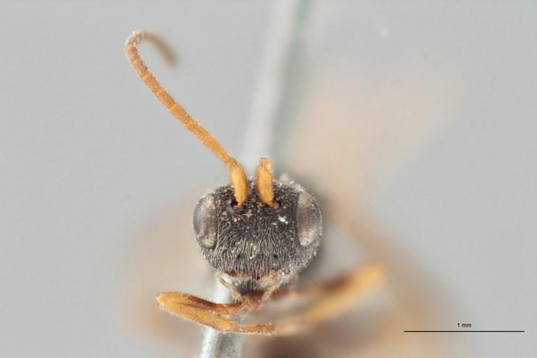 Ascogaster brevicornis syntype F ZS PMax.jpg