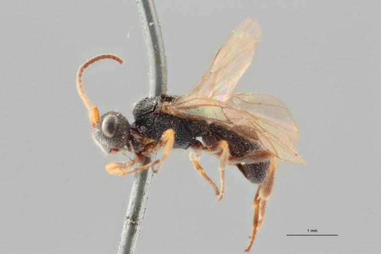 Ascogaster brevicornis syntype L ZS PMax.jpg