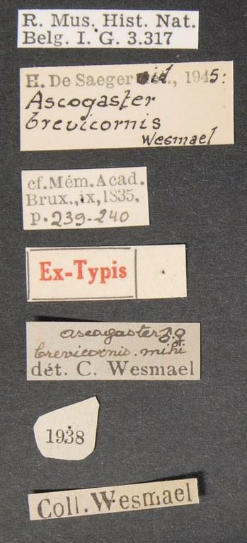 Ascogaster brevicornis syntype Lb.JPG