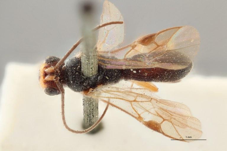 Ascogaster gonocephalus typ D ZS PMax.jpg