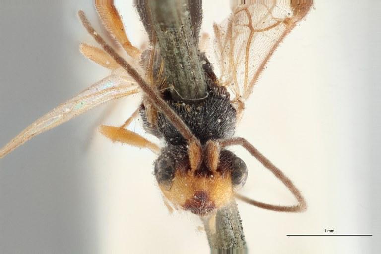 Ascogaster gonocephalus typ F ZS PMax.jpg