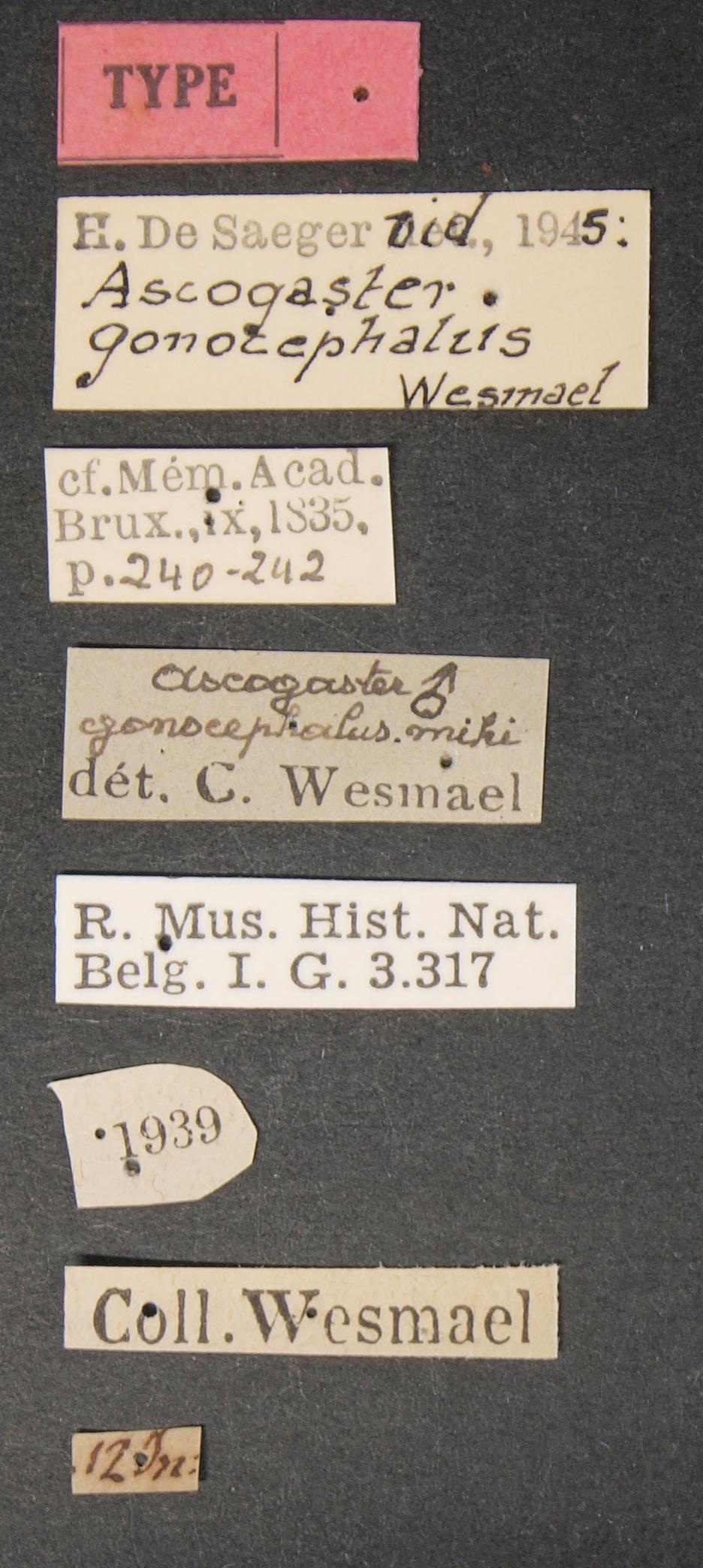 Ascogaster gonocephalus typ Lb.JPG