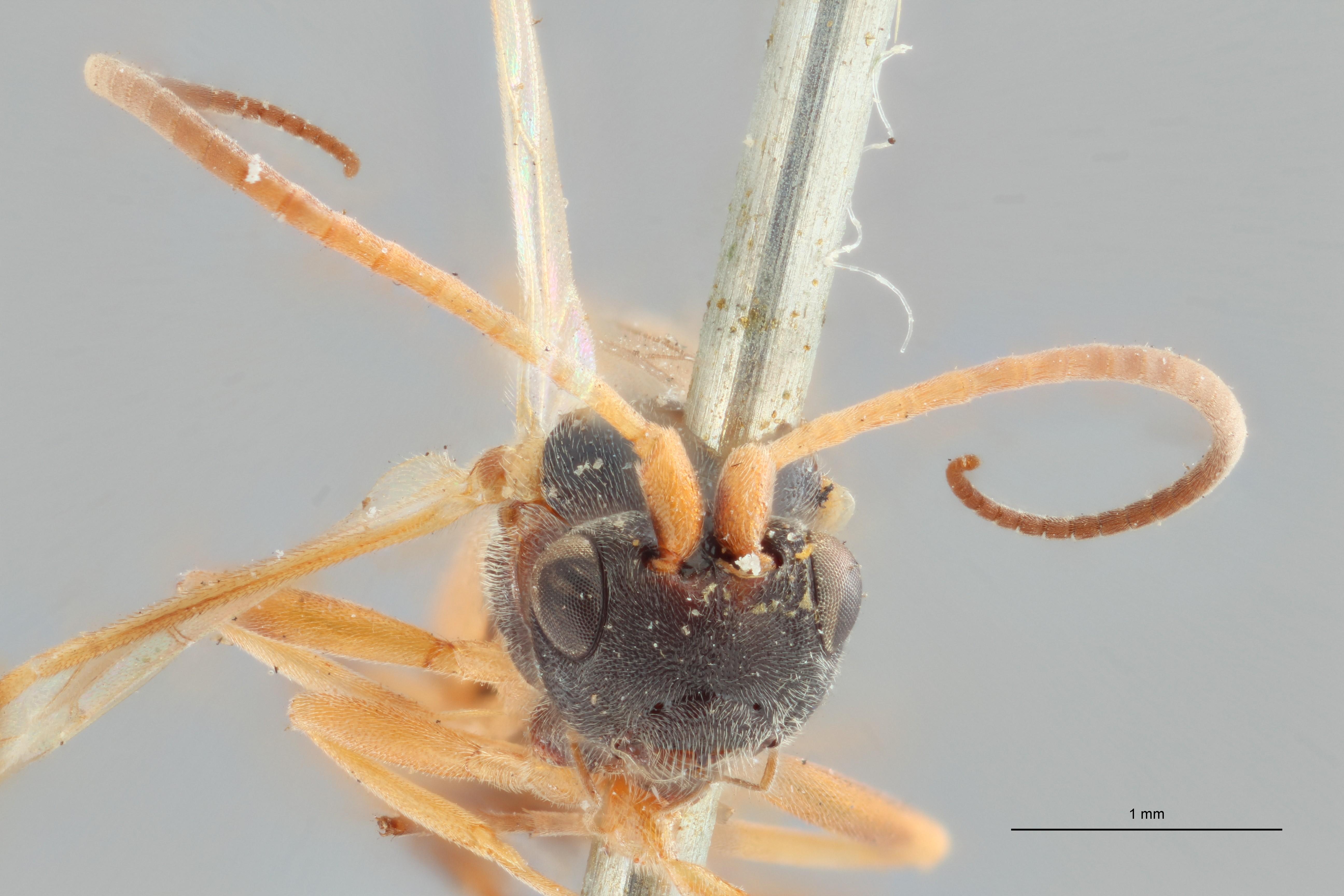 Ascogaster instabilis syntype F ZS PMax.jpg