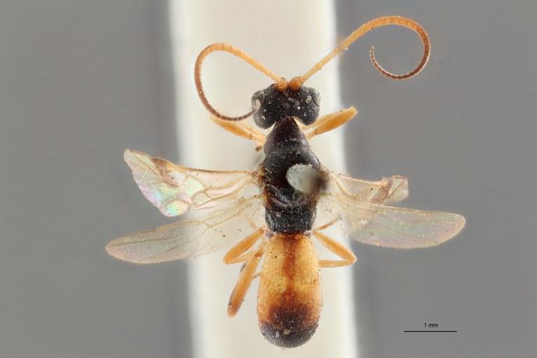 Ascogaster instabilis gnt D ZS PMax.jpg