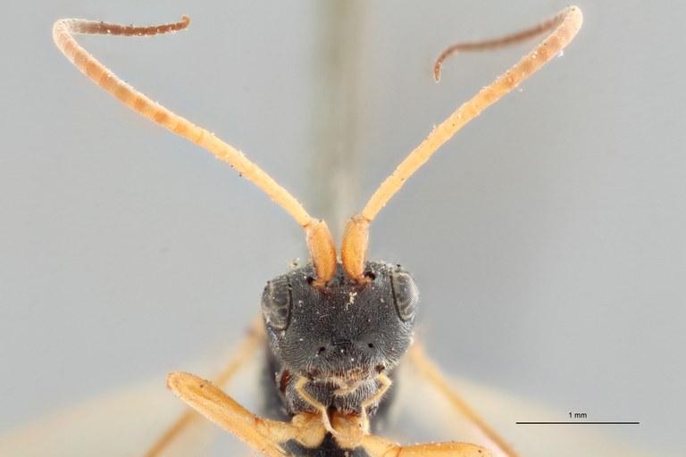 Ascogaster instabilis gnt F ZS PMax.jpg