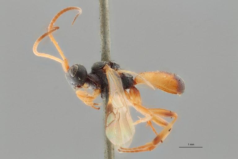 Ascogaster instabilis gnt L ZS PMax.jpg