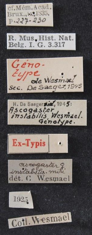 Ascogaster instabilis gnt Lb.JPG