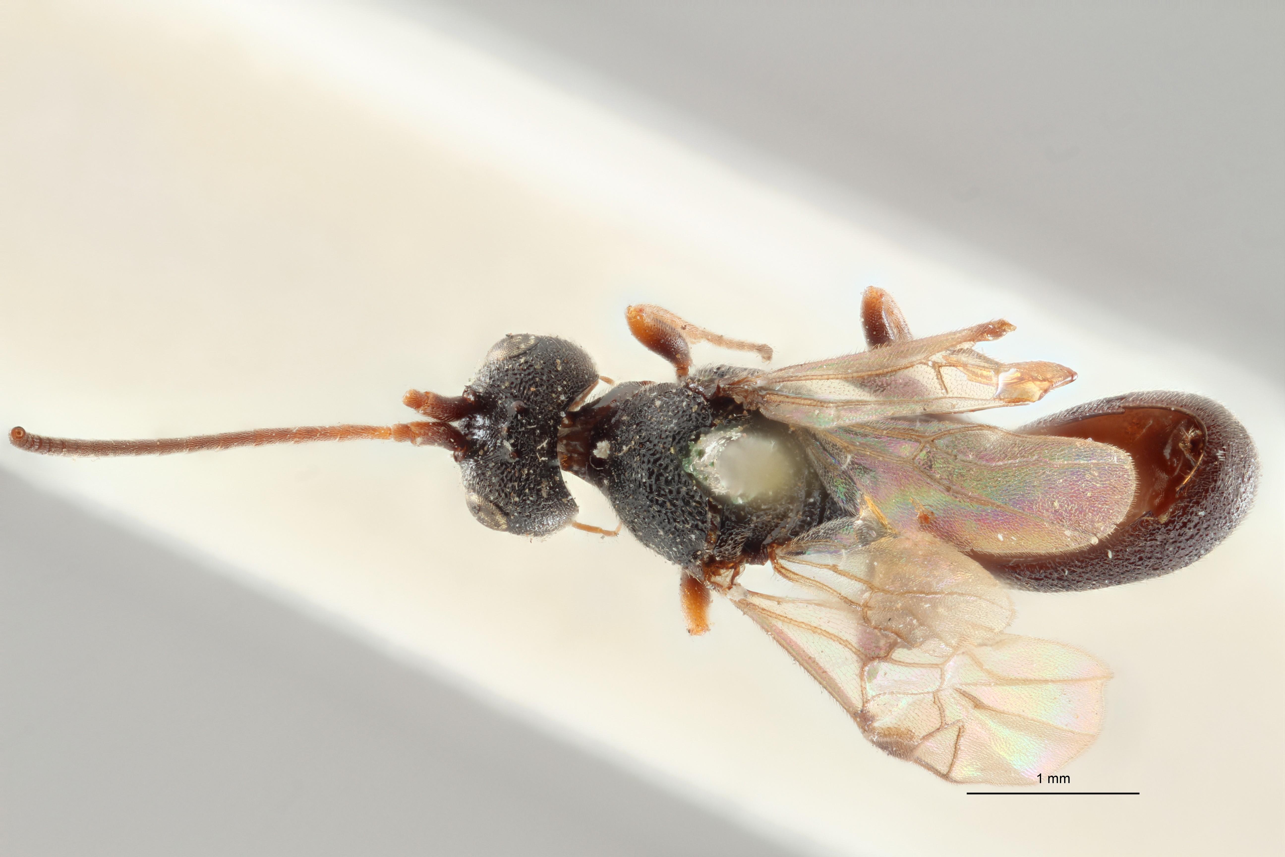 Ascogaster limitatus typ D ZS PMax.jpg