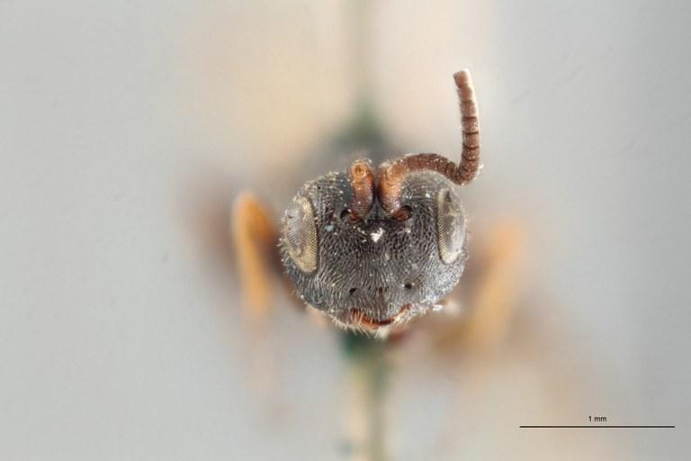 Ascogaster limitatus typ F ZS PMax.jpg
