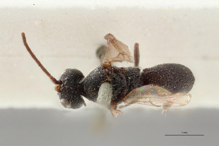 Ascogaster quadridentatus var. 1 plt D ZS PMax.jpg