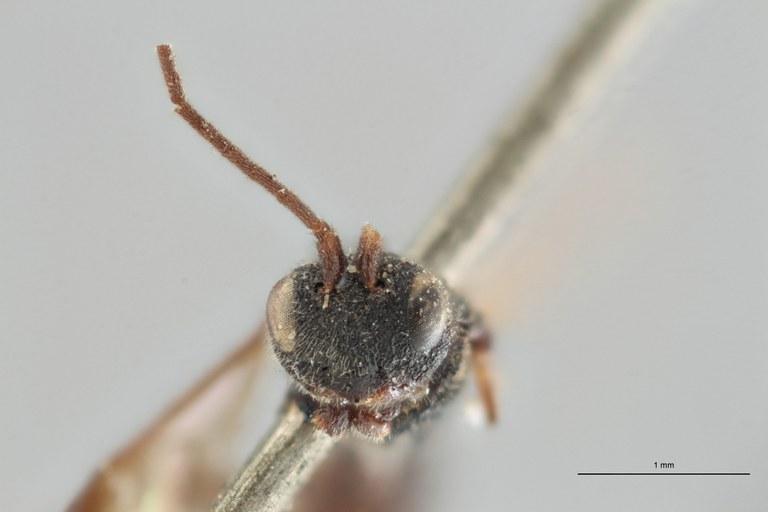 Ascogaster quadridentatus var. 1 plt F ZS PMax.jpg