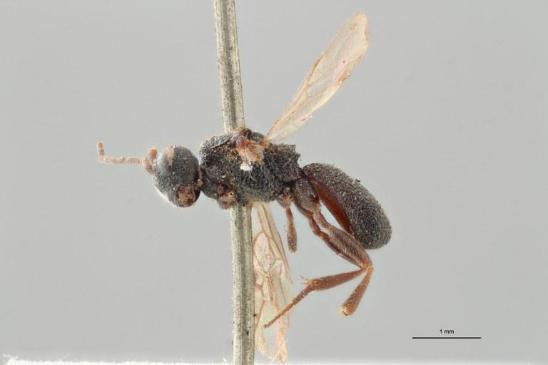 Ascogaster quadridentatus var. 1 plt L ZS PMax.jpg