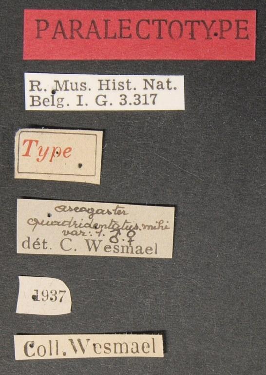 Ascogaster quadridentatus var. 1 plt Lb.JPG