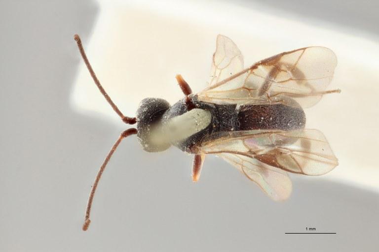 Ascogaster quadridentatus var. 1 lct D ZS PMax.jpg