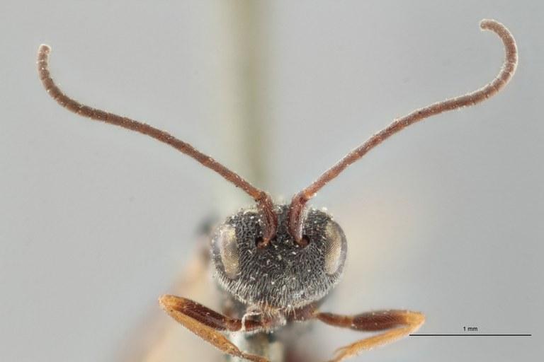 Ascogaster quadridentatus var. 1 lct F ZS PMax.jpg