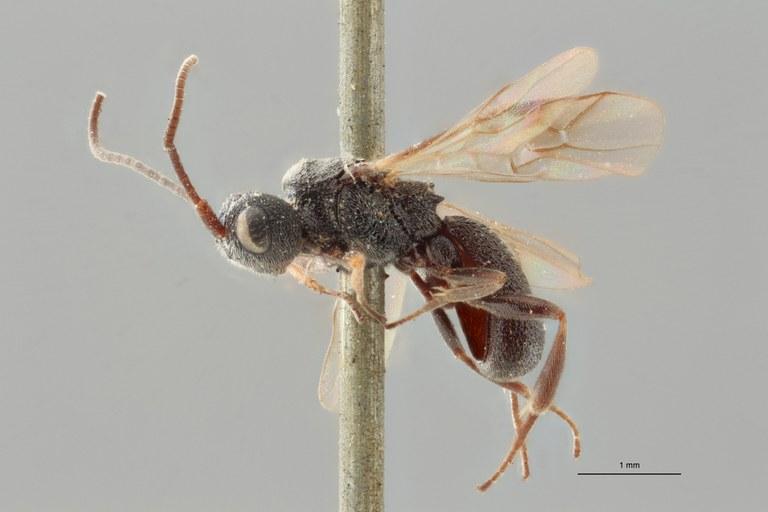 Ascogaster quadridentatus var. 1 lct L ZS PMax.jpg