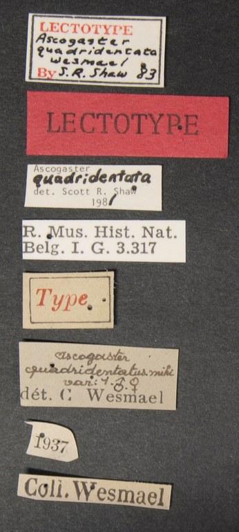 Ascogaster quadridentatus var. 1 lct Lb.JPG