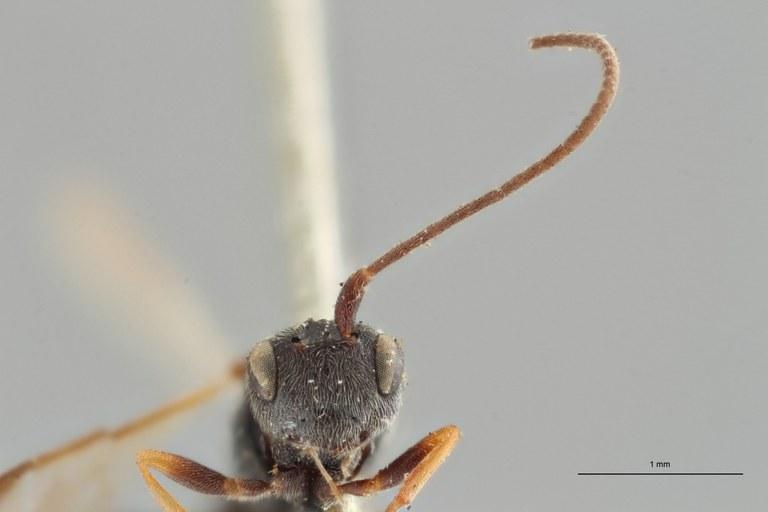 Ascogaster varipes typ F ZS PMax.jpg