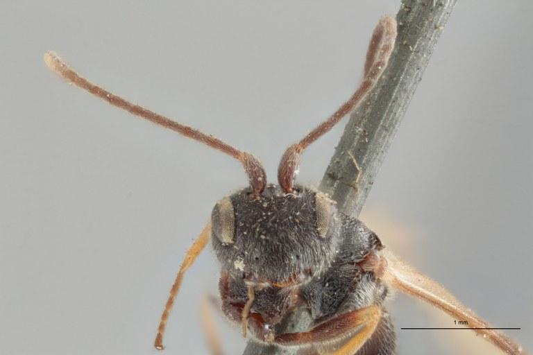 Ascogaster varipes lct F ZS PMax.jpg