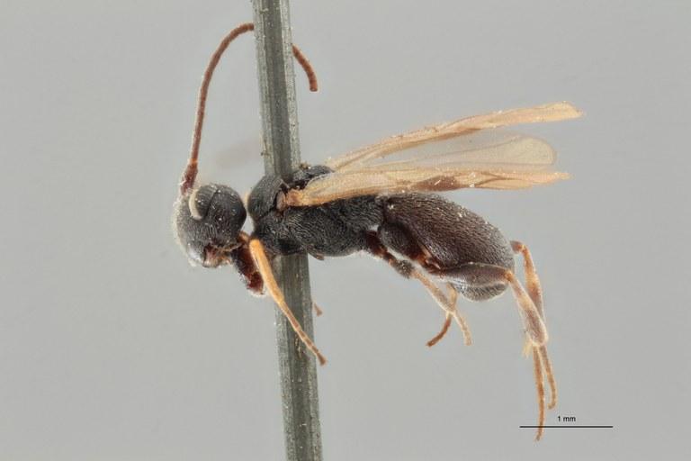 Ascogaster varipes lct L ZS PMax.jpg