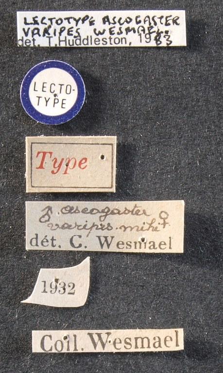 Ascogaster varipes lct Lb.jpg
