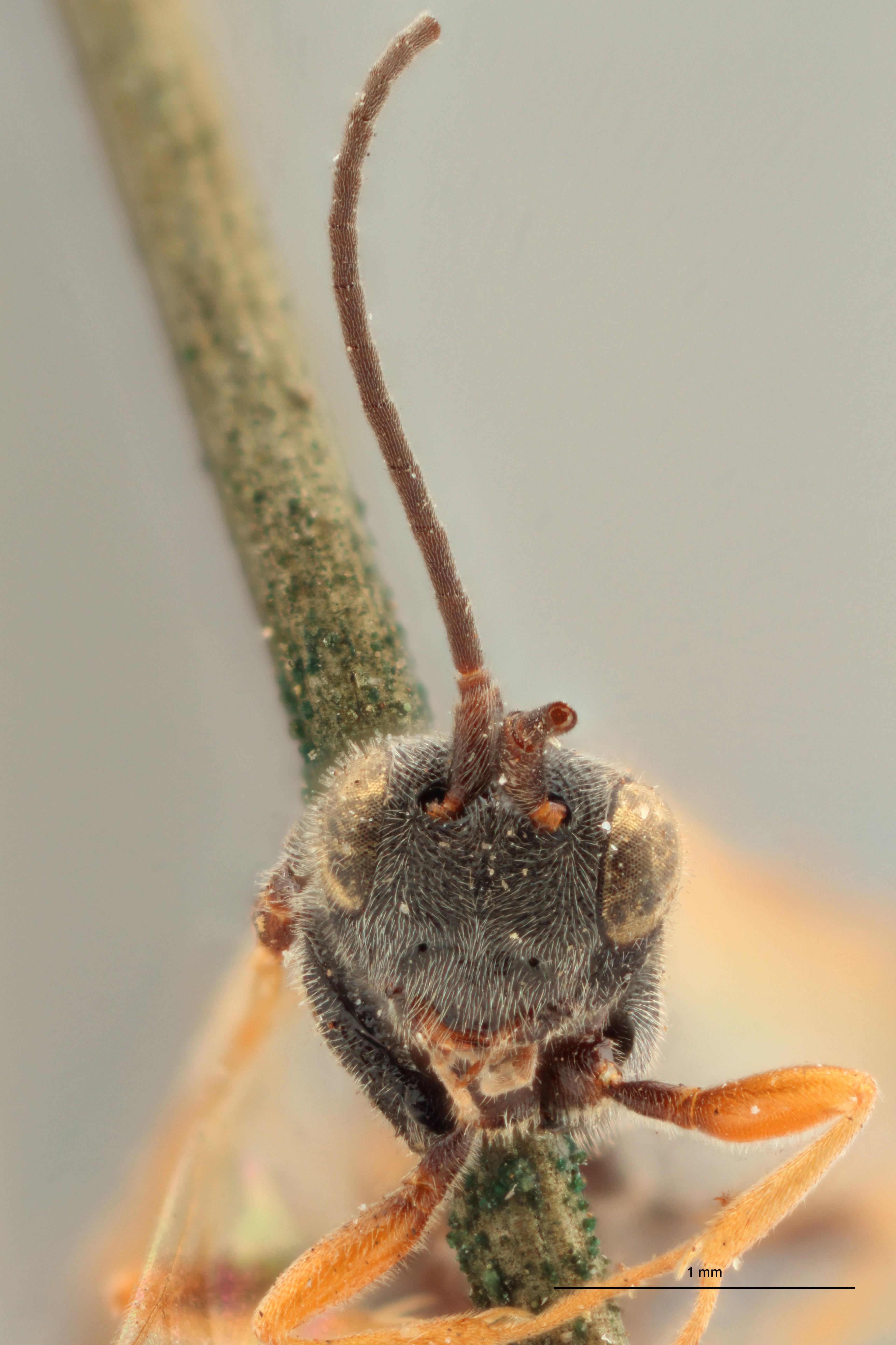 Chelonus annulipes plt F ZS PMax.jpg