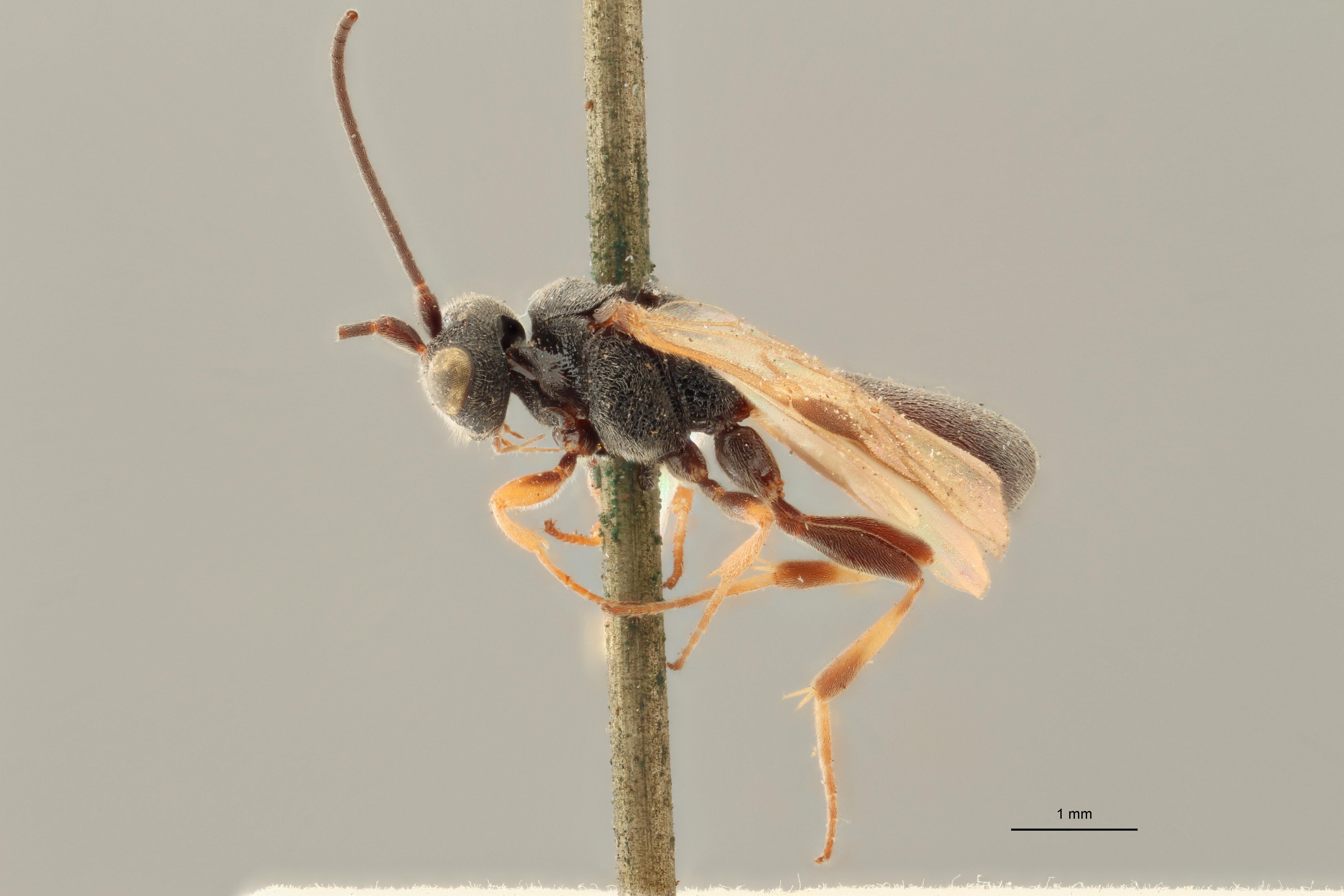 Chelonus annulipes plt L ZS PMax.jpg