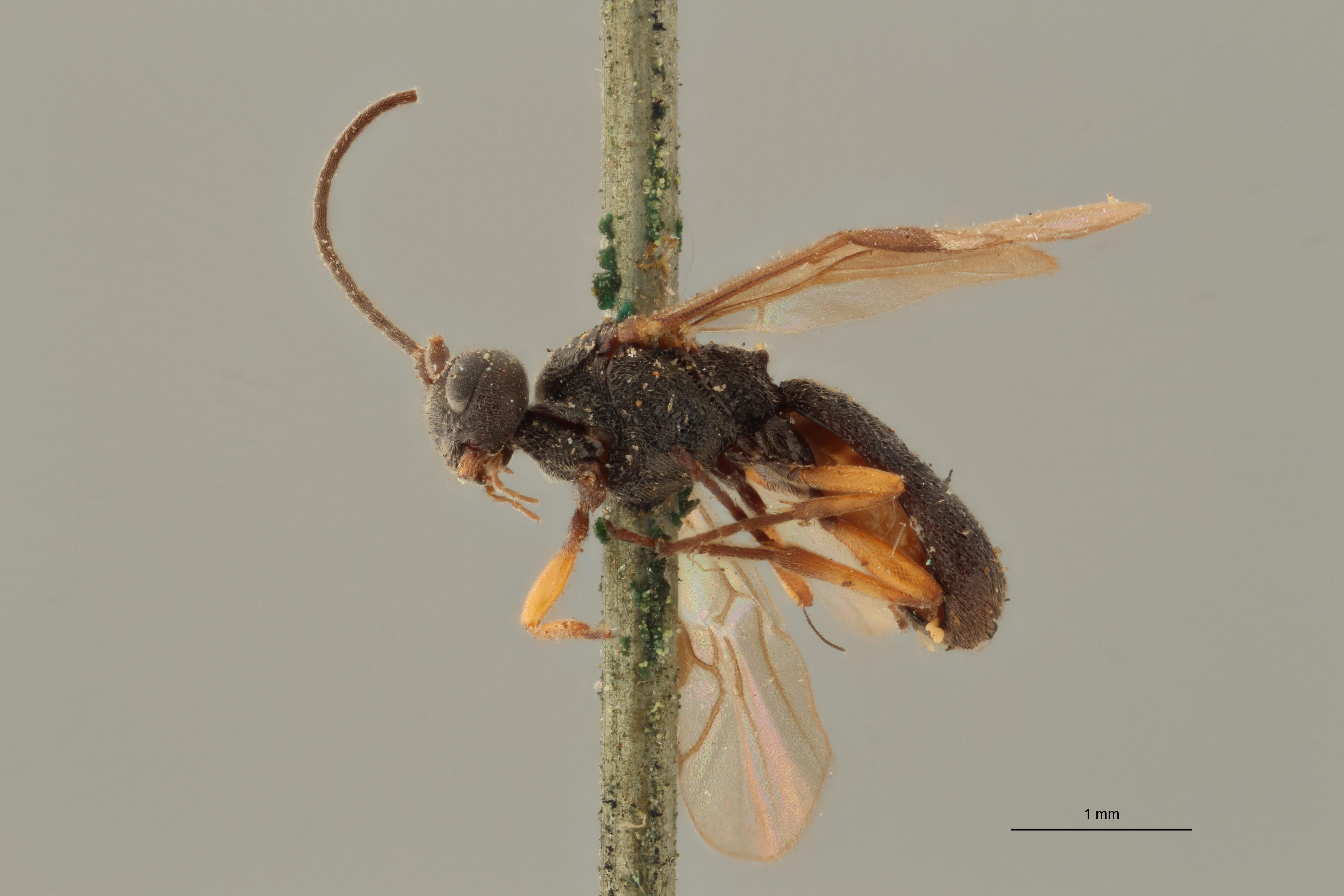 Chelonus (Microchelonus) lugubris ht L ZS PMax.jpg