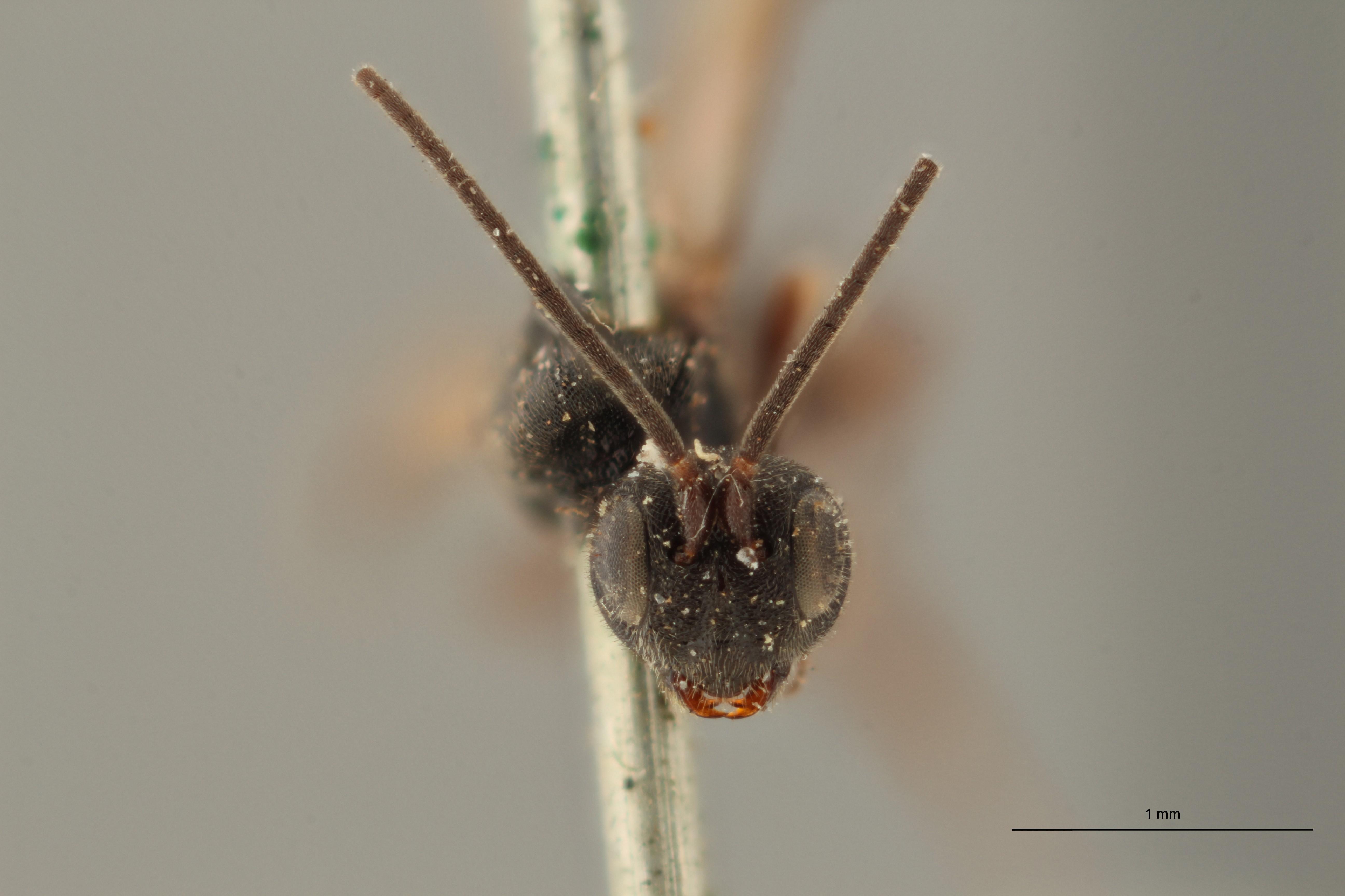 Chelonus (Microchelonus) microphtalmus ht F ZS PMax.jpg