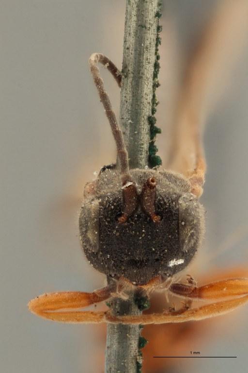 Chelonus submuticus lct F ZS PMax.jpg