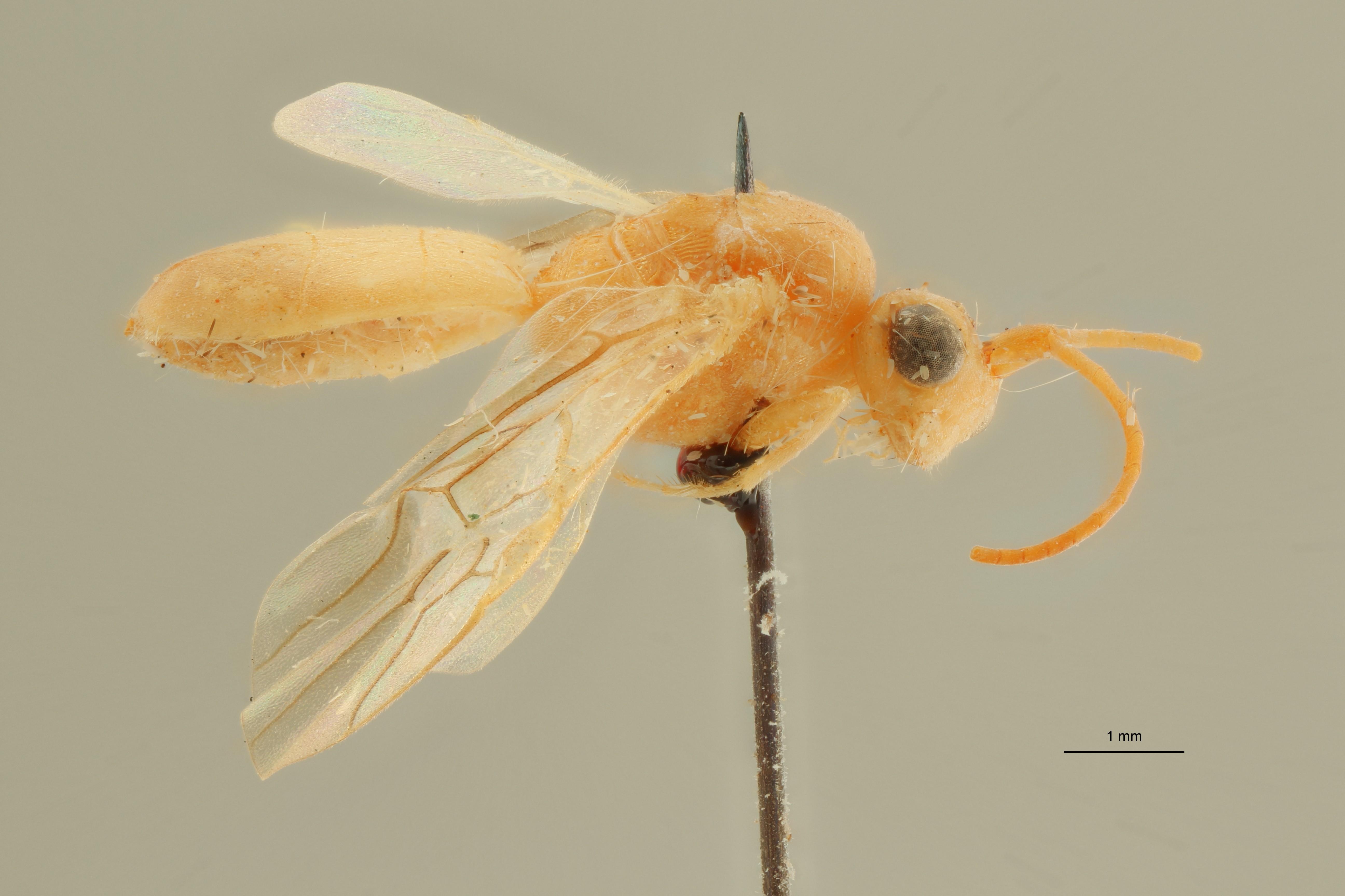 Phanerotoma robusta ht L ZS PMax Scaled.jpeg