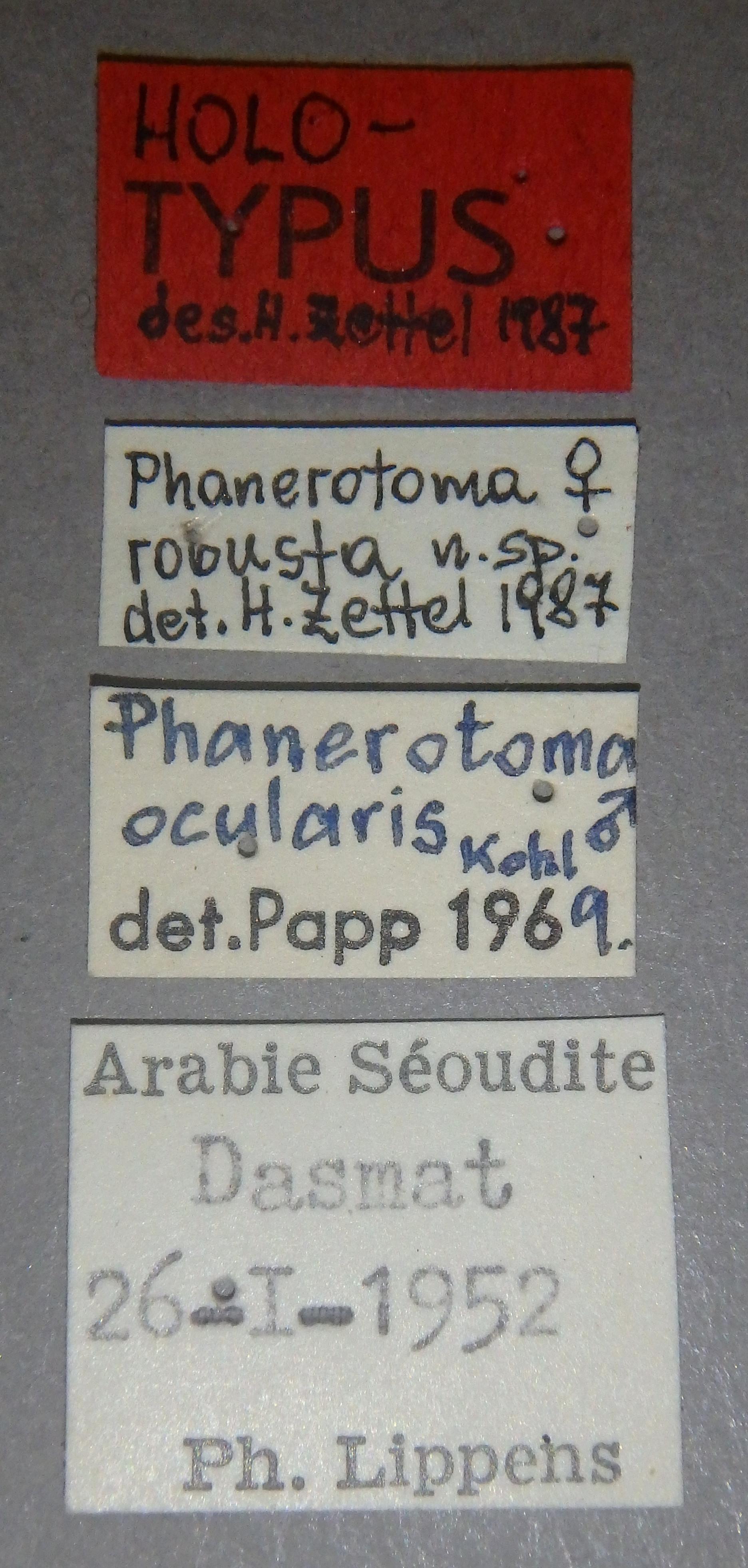 Phanerotoma robusta ht Lb.JPG