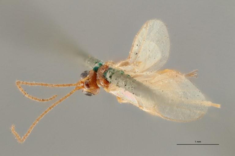 Pygostolus falcatus typ D ZS PMax Scaled.jpg